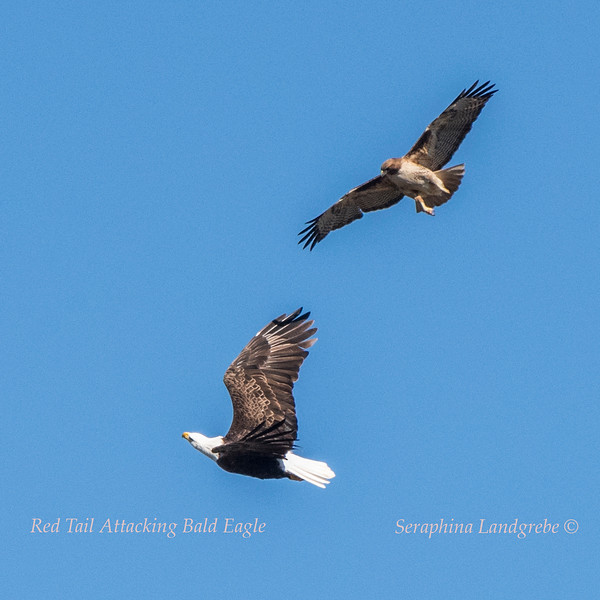 _DSC1604Red tail attacking Bald Eagle.jpg