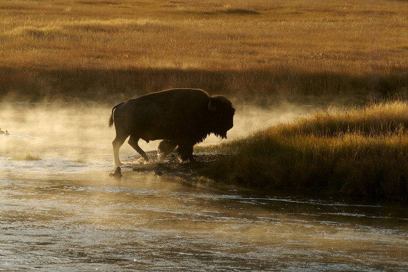 Bison crossing Madison River Yellowstone WY IMG_0001180.jpg
