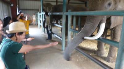 2017/09/03 >> Feeding Elephants at Monterey Zoo