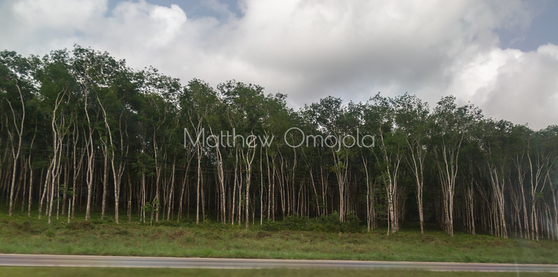 Rubber plantation in neat rows by the roadside  Abidjan to Yamoussoukro, Ivory Coast Cote d'Ivoire