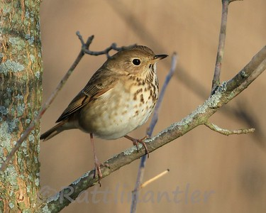 Hermit Thrushes