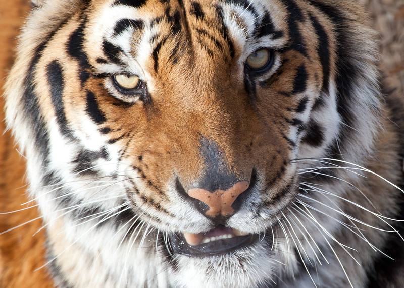 8119 TIger Close Up.JPG