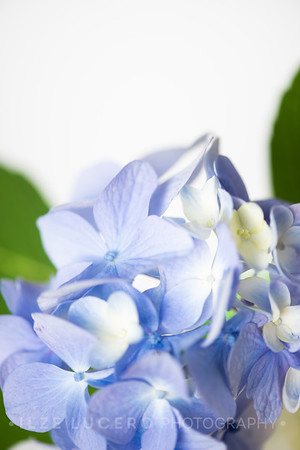 Hydrangea and Lily