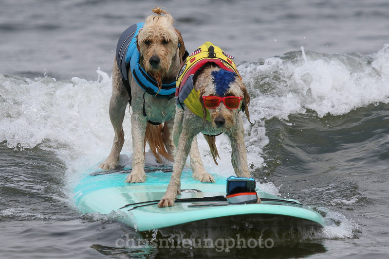 8/5/17: Teddy and Derby riding in together during the 2017 World Dog Surfing Championships at Pacifica State Beach in Pacifica, Ca by Chris M. Leung
