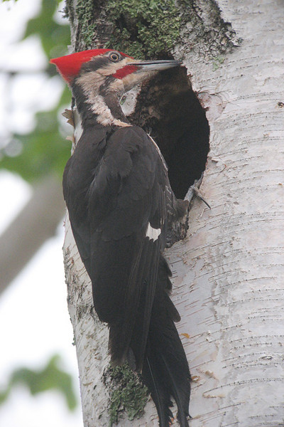 June 15, 2008 Pileated Woodpeckers