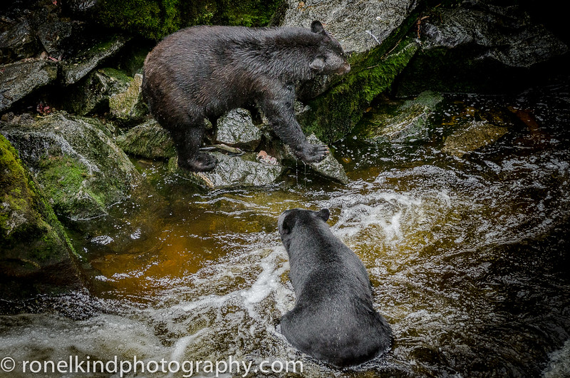 The fight is over. The older bear has had enought and decides to find another fishing spot.