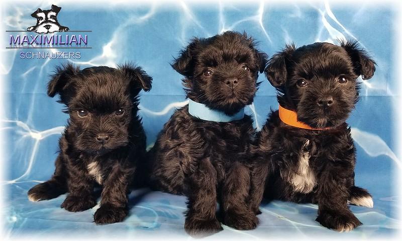 Annie Pups 021.jpg