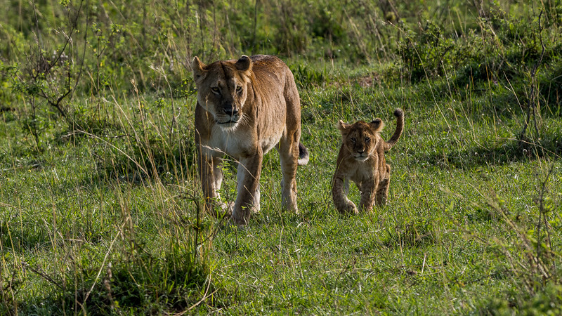 Walking with her cubs down the hill, she kept calling for her missing one...