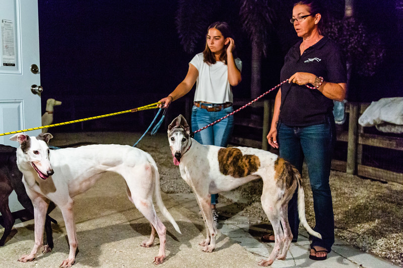 Maya Stratemann (left) and Rochelle Healy hold the leashes of three of the five dogs Elite Greyhound Adoption picked up at the Miami airport on Wednesday, January 2, 2019, where they arrived from the infamous Canidrome in Macau, China.  The Canidrome closed in July 2018 and over 600 dogs are being shipped to rescues in Europe and America. The dogs are crated in Macau, transported to the airport in Hong Kong, flown to Frankfurt, Germany, transferred to another plane and then flown to Miami International Airport, where they pass through customs and eventually get picked up by Sonia Stratemann of Elite Greyhound Adoptions. [JOSEPH FORZANO/palmbeachpost.com]