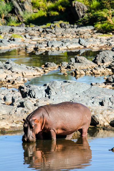 Hippo And Her Pool
