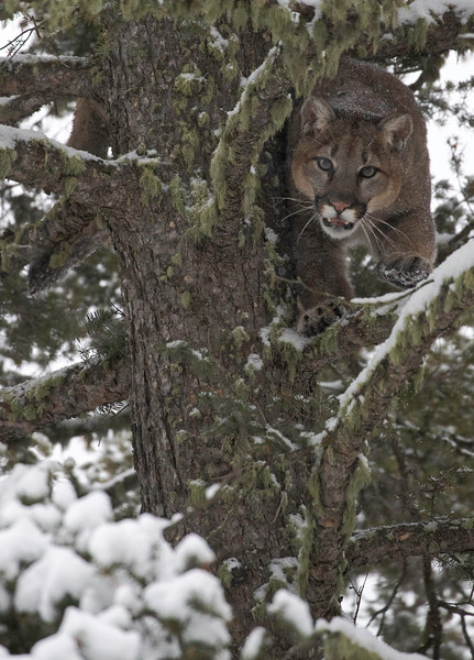 Mtn Lion coming around tree to decend.jpg