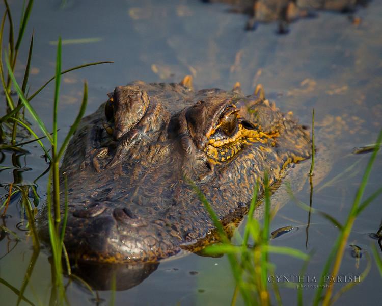 AlligatorUpCloseLagowRanch.jpg