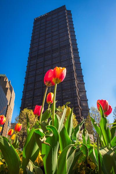 April 14, 2016 - Steel Bldg Tulips - 043016.jpg