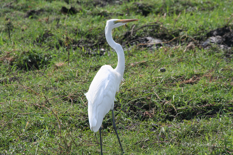 Great Egret, Chobe National Park, Botswana