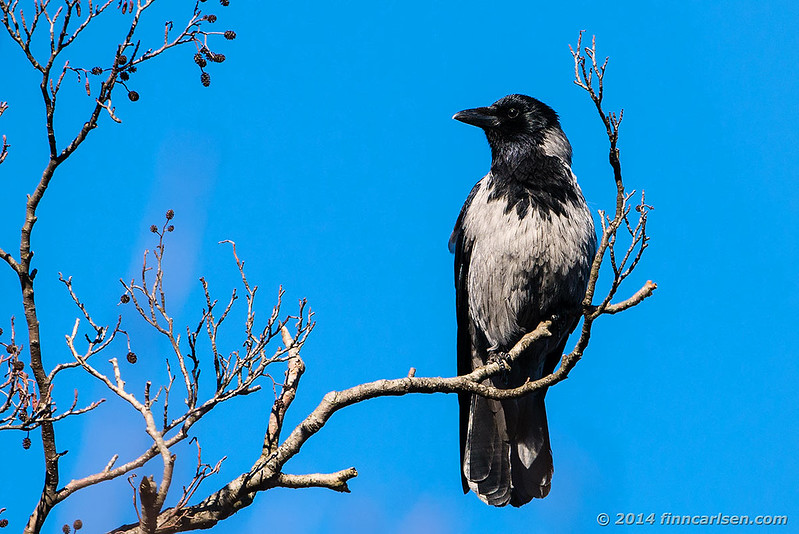 Gråkrage (Corvus cornix - Hooded Crow)