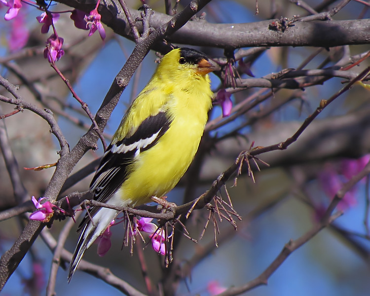 sx50_goldfinch_bit_156.jpg