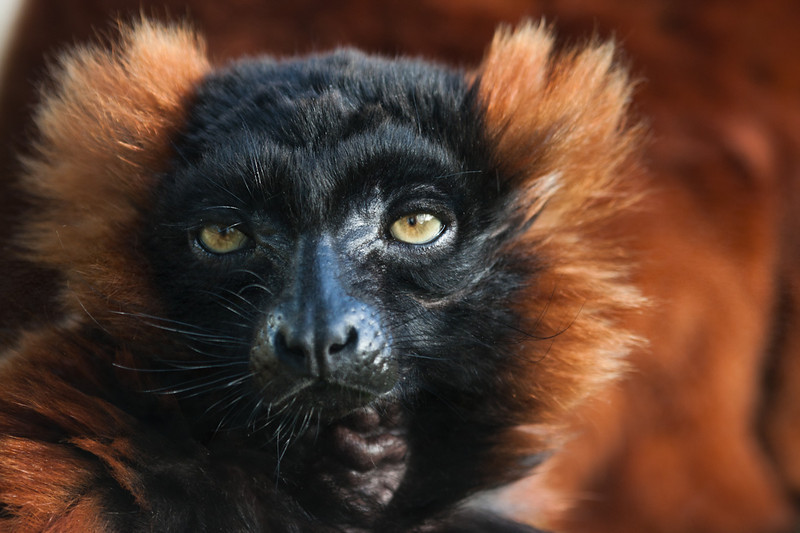 Red Ruffed Lemur - Marwell Zoo