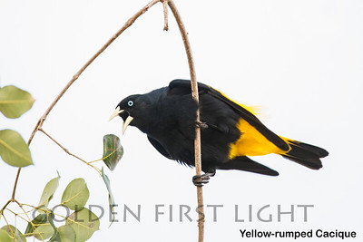 Yellow-rumped Cacique, Pantanal, Brazil