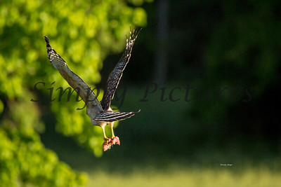 Hawk  011