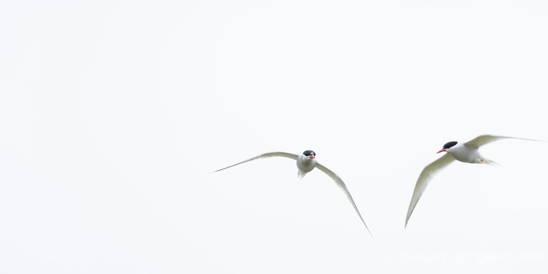 Antarctic Tern-9016