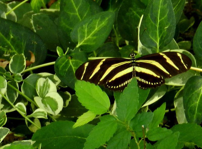 Zebra Heliconian4.jpg