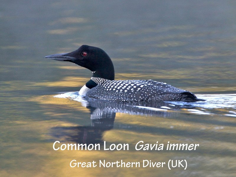 The Loons of Damariscotta Lake slides.004.jpg