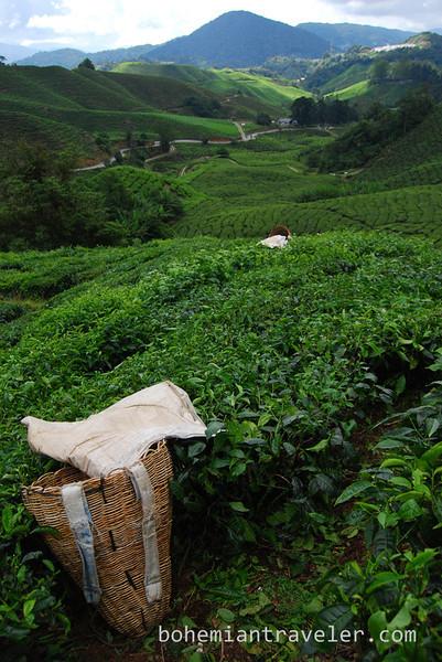 Cameron Highlands Malaysia Tea fields [Boh] (6).jpg
