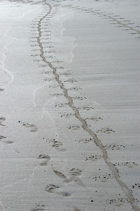 Iguana trails in the sand of Tortuga beach   (Dec 09, 2005, 04:09pm)