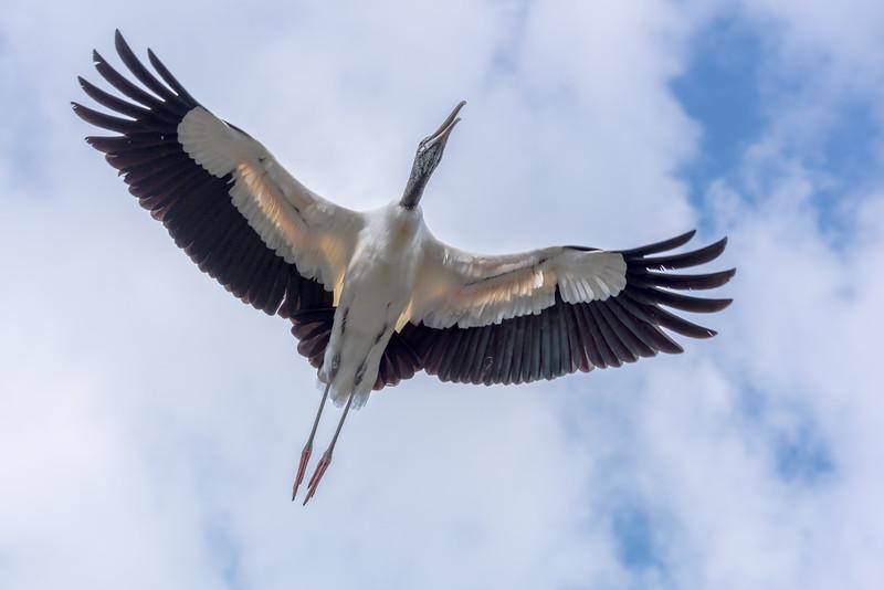 292zzzzzz Wood Stork.JPG