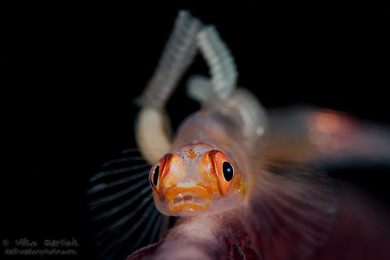goby with parasites (1 of 1).jpg