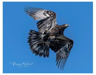 Eagles of Long Island