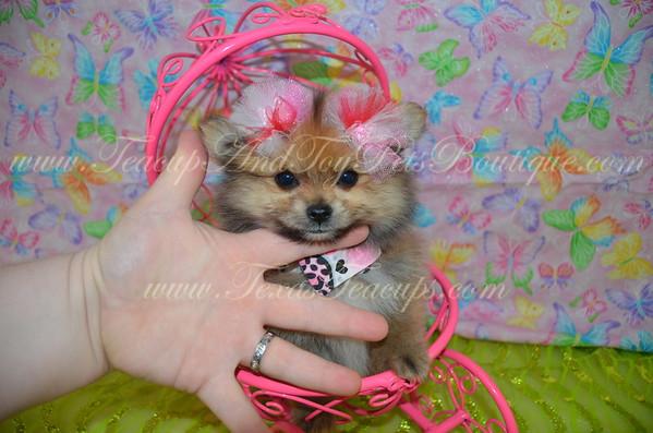 Female Pomeranian Puppy # 3106
