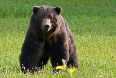 Brown Bear Looking Right at Us June 2014, Cynthia Meyer, Chichagof Island, Alaska