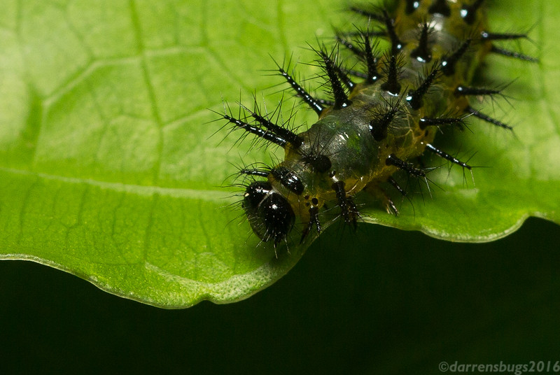 Nymphalid caterpillar (Chlosyne erodyle or C. gaudialis) from Costa Rica.