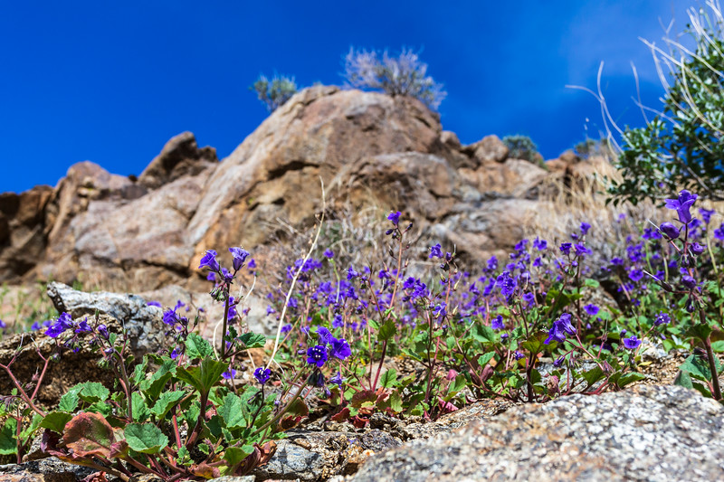 1. Beautiful blue-colored bluebells blooming between badlands of otherwise barren Borrego desert