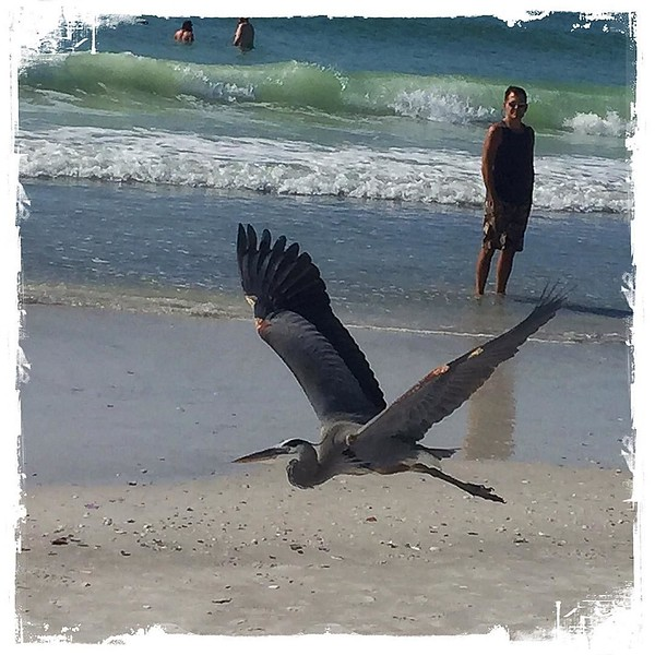 A friendly heron hanging out at the beach today...