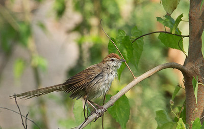 Megalurus timoriensis - Tawny Grassbird
