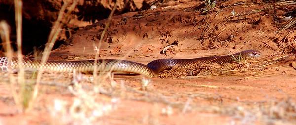 Pseudechis australis (King Brown Snake)