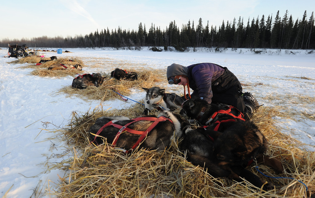 . Paige Drobny of Fairbanks tends to her dog team in the Athabaskan village of Nikolai, Alaska, during the Iditarod Trail Sled Dog Race on Tuesday, March 5, 2013.  (AP Photo/Bill Roth, Anchorage Daily News)