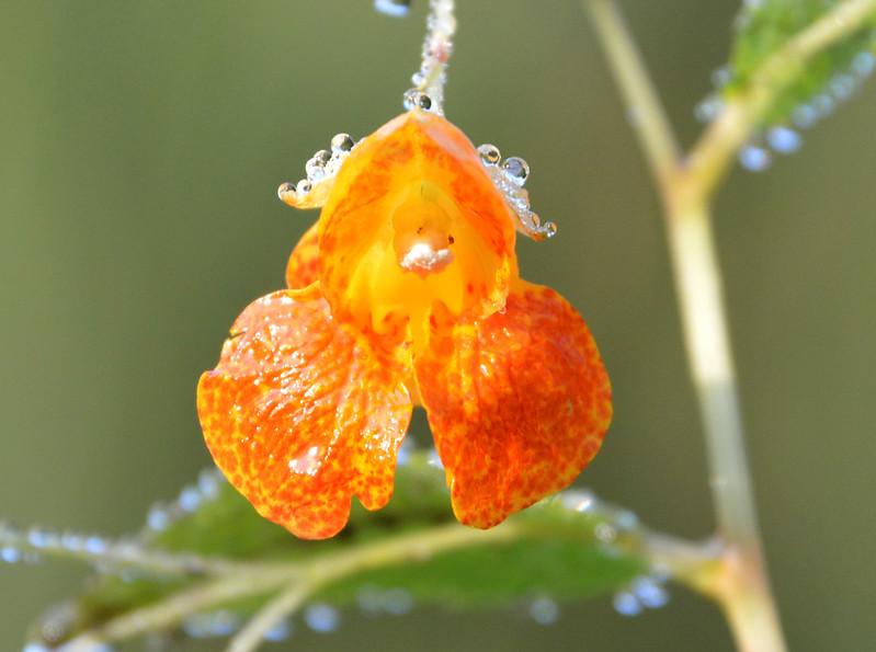 Touch-me-not-closeup-flower-dew.jpg
