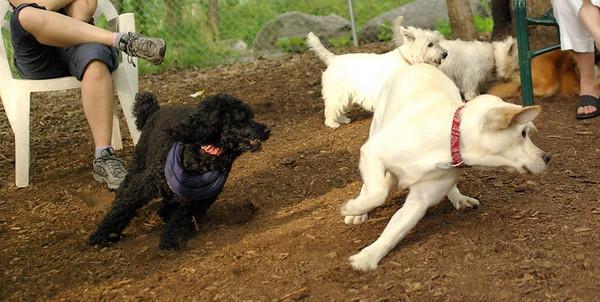 july 1 resize::ROXY (lab puppy)