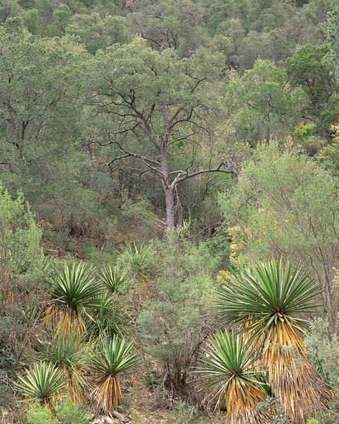 Coahuila, Mexico / Maderas del Carmen Natural Preserve. Yuccas, Yucca faxoniana, in Pinyon pine, Pinus edulis, and oak, Quercus sp. forest. 1204V5