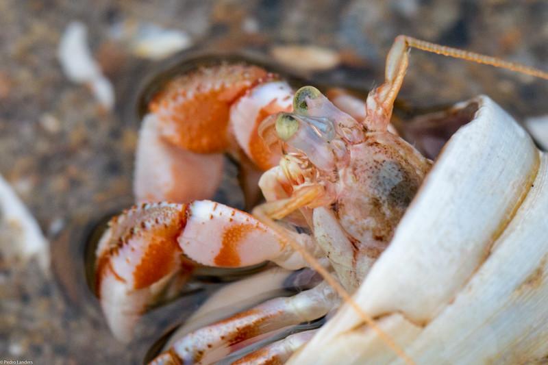 Hermit Crab - Detail