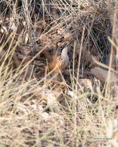 Carpenterian Grasswren, McNamara Rd, Mt Isa, QLD, Sep 2010-1.jpg