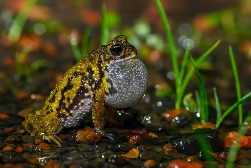Amboli-Toad-vocal-sac.jpg