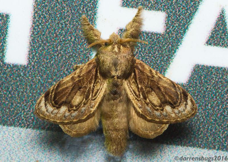 Delightfully furry lappet moth (Lasiocampidae: Euglyphis libnites) from Monteverde, Costa Rica.