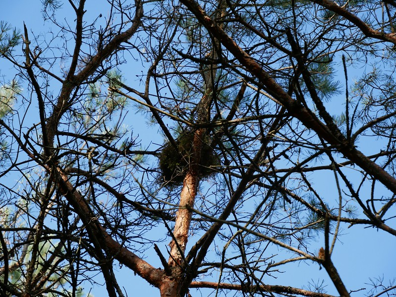 Red Squirrel - nest