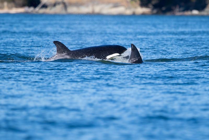 Orcas -  073115-364.jpg