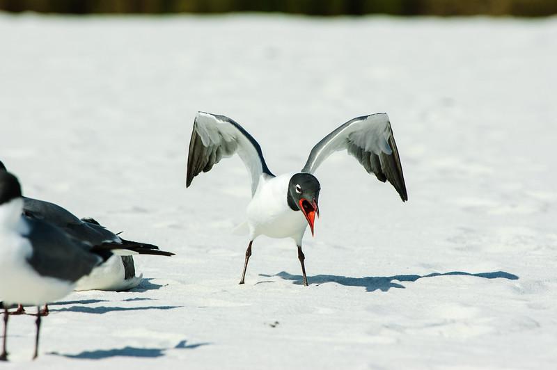 20050416 Destin Beach Birds 046.jpg