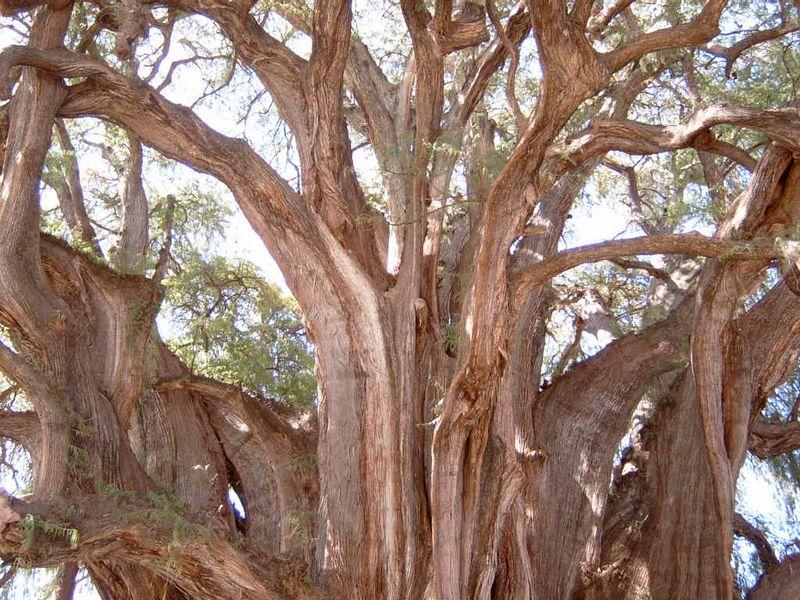 Mexico-Tule-Tree14.jpg
